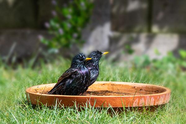 Starling bathing in a bird bath on the ground
