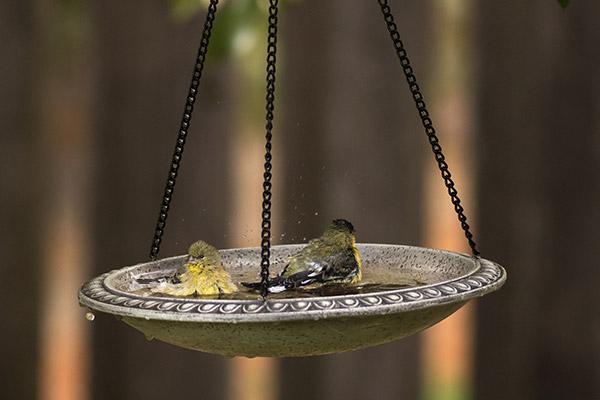 goldfinches bathing in a hanging bird bath