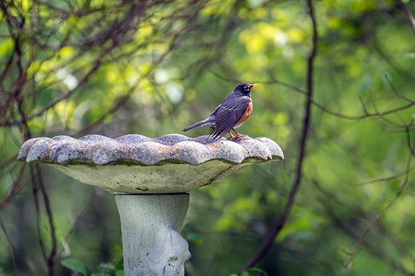 Robin on a pedestal birdbath
