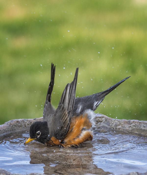 Robin taking a bath
