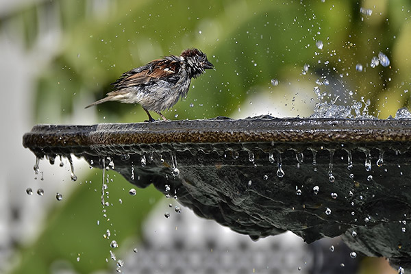 wet sparrow bathing in a fountain