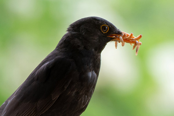 Male blackbird with many mealworms in his bill