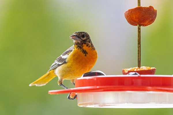 Oriole eating grape jelly on a spring day