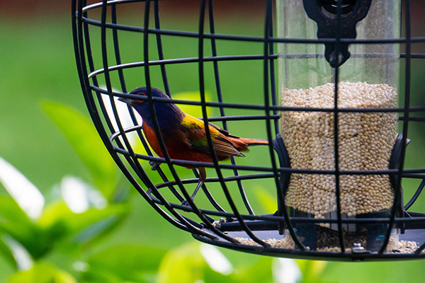 caged bird feeder with painted bunting