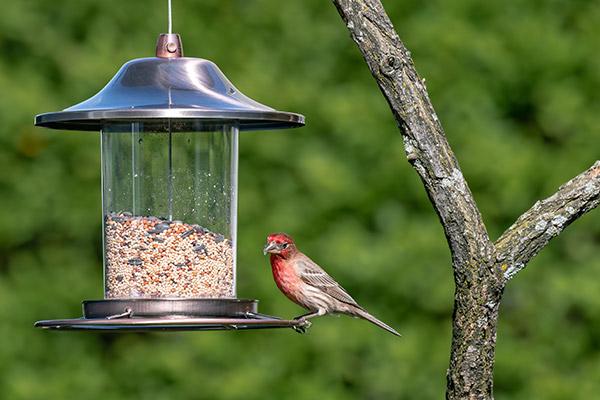 House Finch bird balancing on a hanging bird feeder