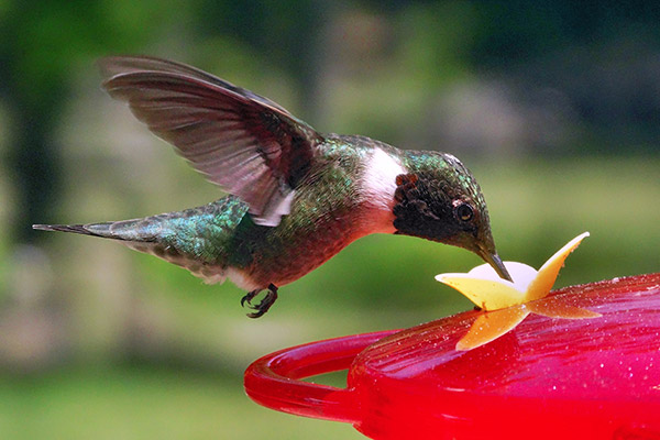 hummingbird drinking from a feeder on a sunny day