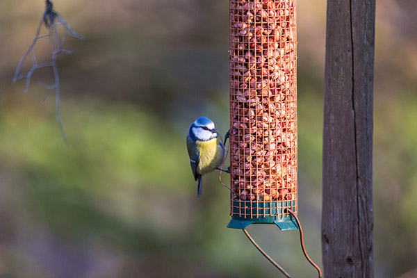 nut bird feeder with blue tit bird
