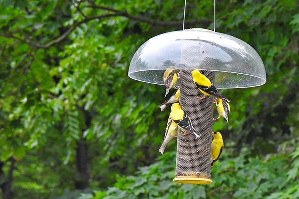 Seven American Goldfinches Birds Enjoy Nyjer Seeds or Thistles Seeds from a Bird Feeder