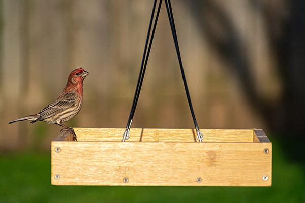 House Finch eating at a platform bird feeder