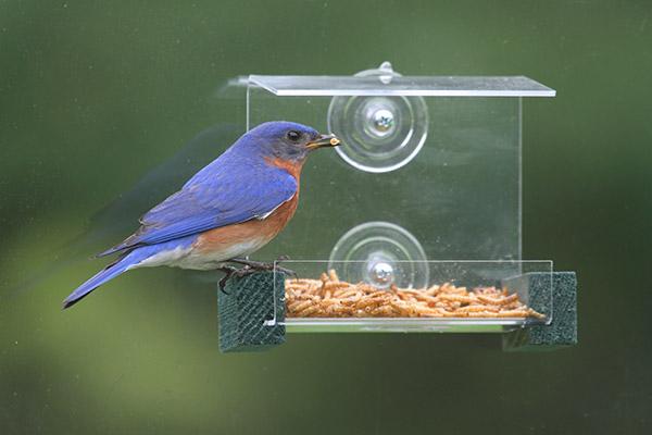 window feeder with bluebird eating