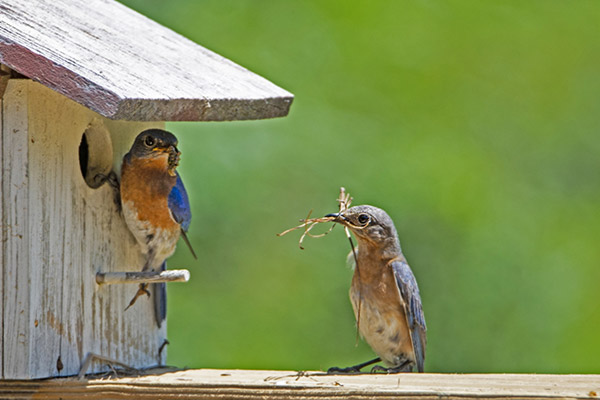 Bluebirds checking out their house
