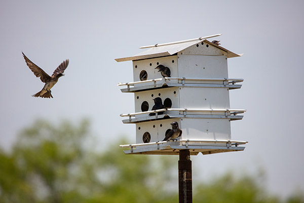 purple martins flying in and out of their birdhouse