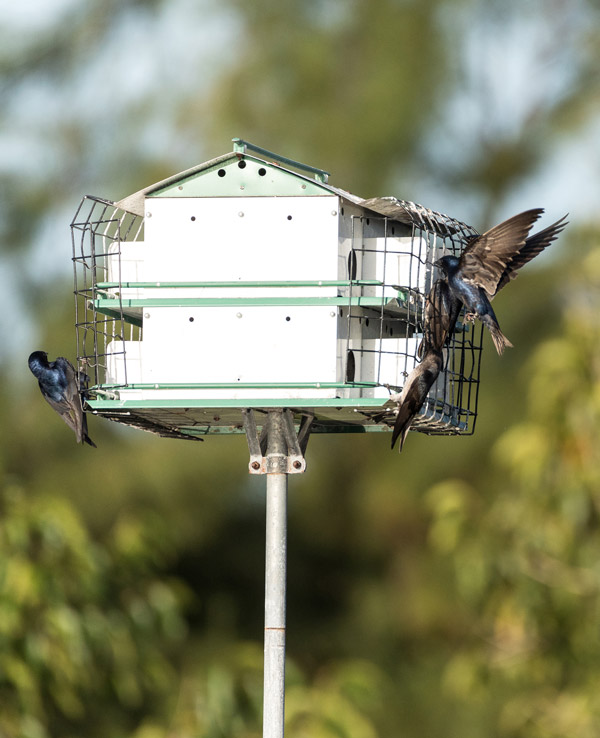 Purple martin birds fly and perch on a house over a pond